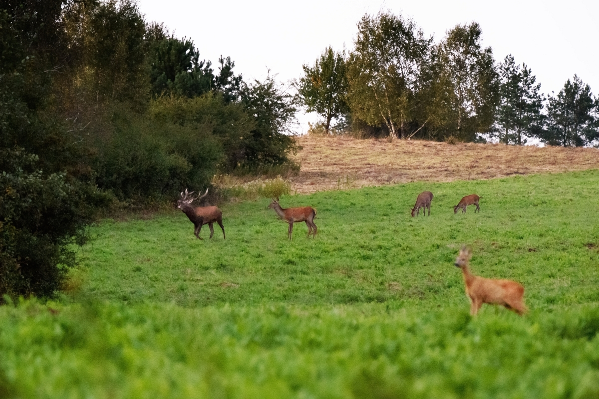 Rykowisko, jeleń, sarny
